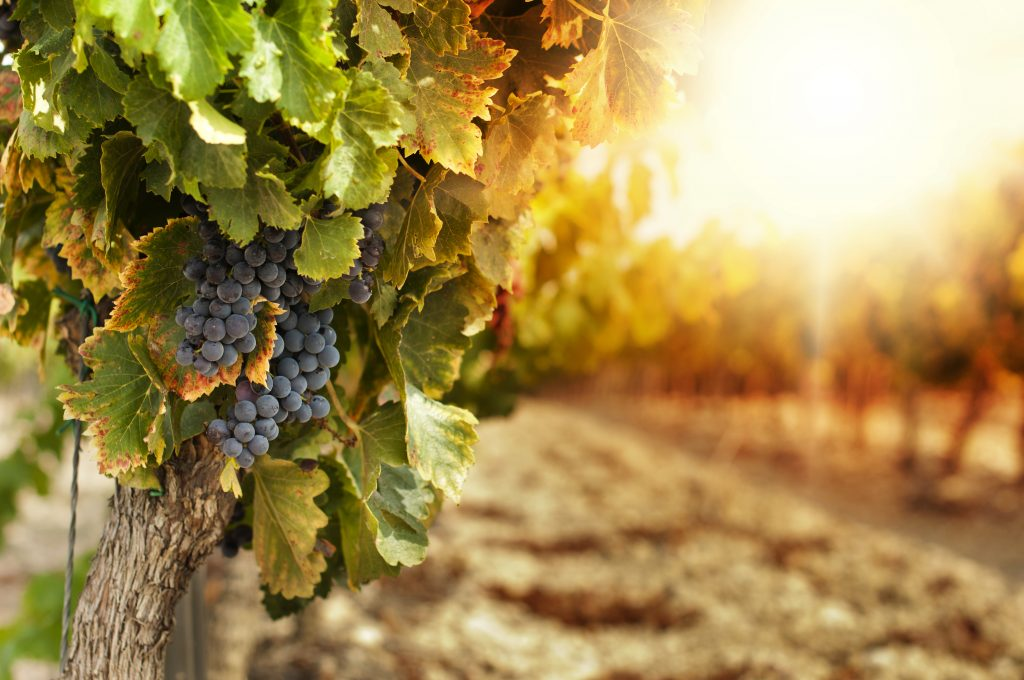 grapes growing on wine in vineyard at sunset