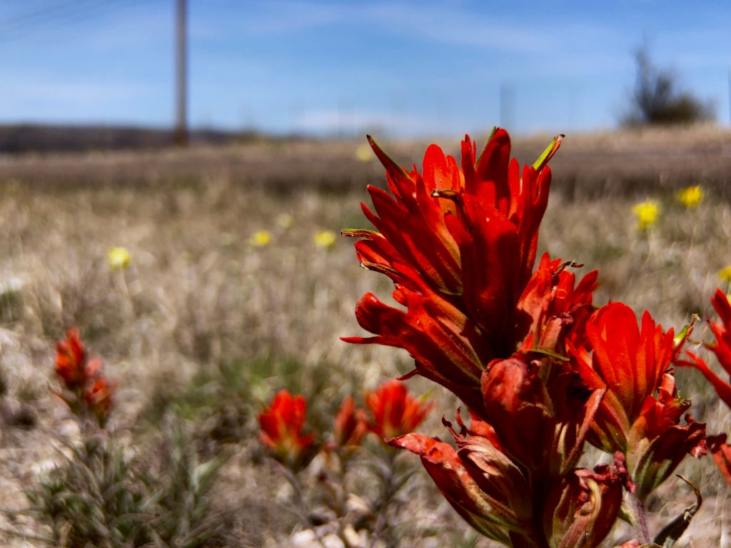 red flower in fort davis mountains texas