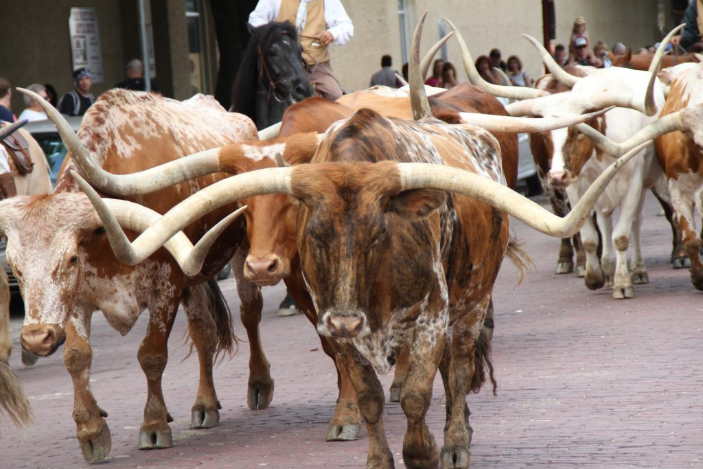 longhorn cattle on the road at the ft worth cattle drive, one of the fun fort worth attractions to visit