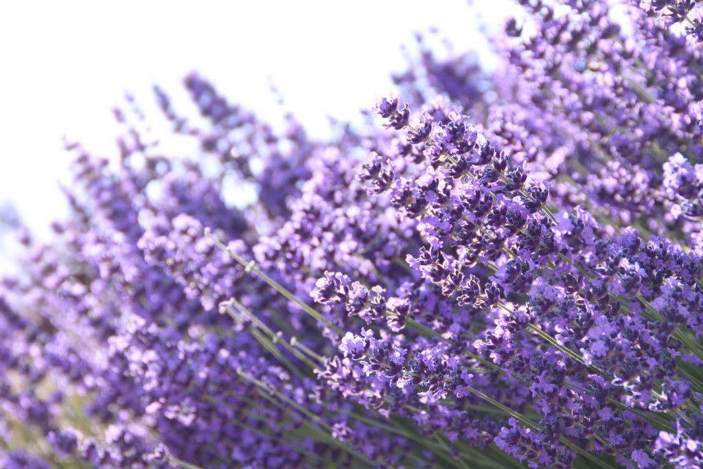 blooming lavender farms in texas, close up of plants