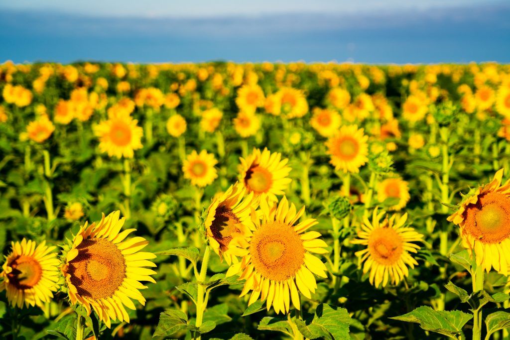 blooming texas sunflower fields on a sunny day
