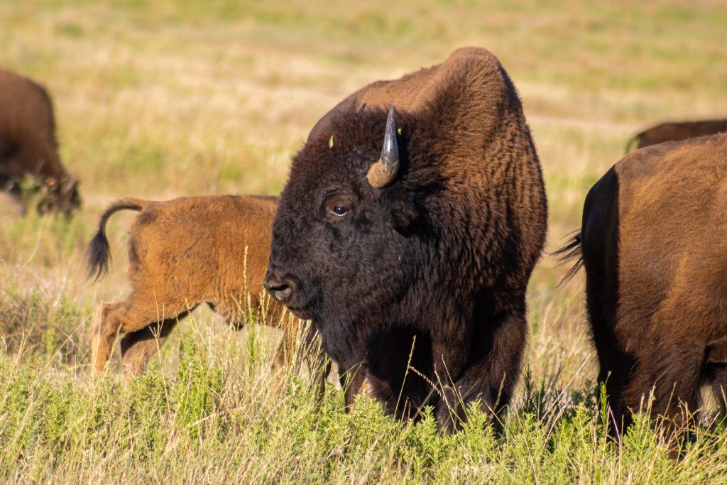 group of bison in texas