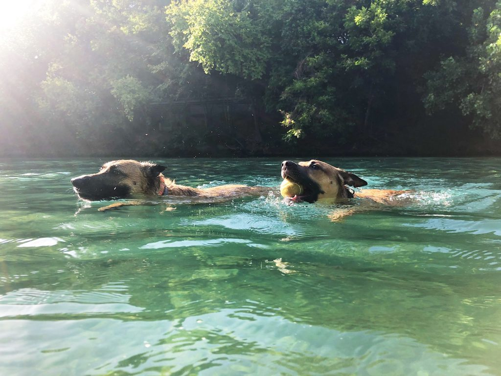 two dogs swimming in austin, one with a tennis ball in its mouth