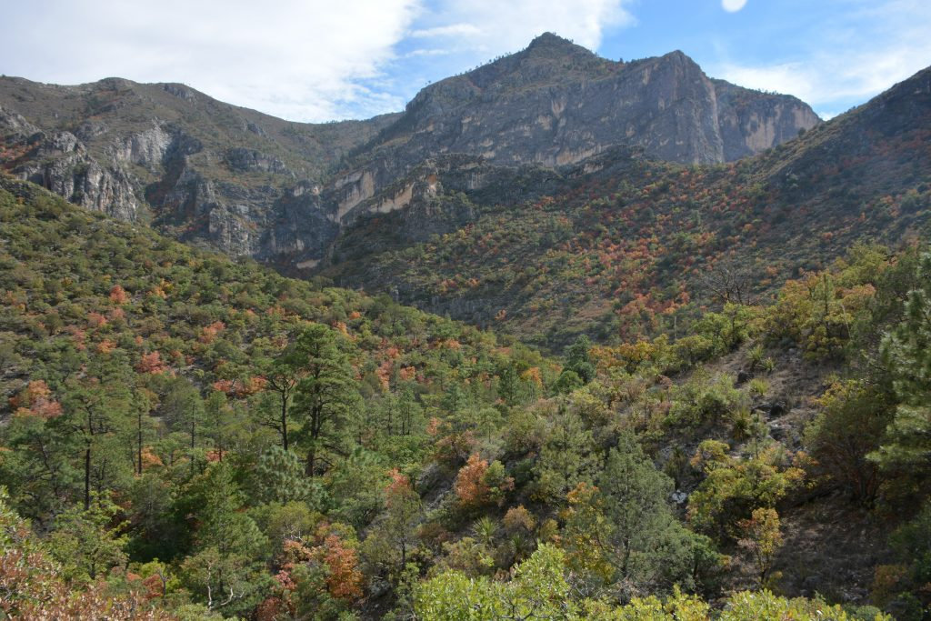 mckittrick canyon with forest in the foreground and peak in the background