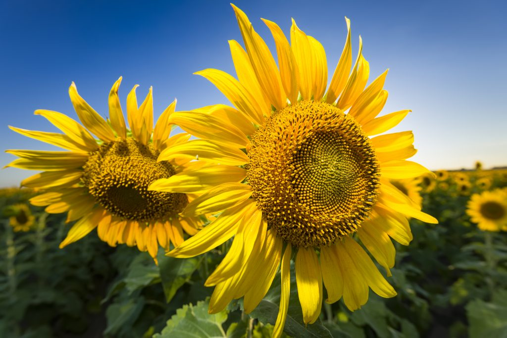 close up of two sunflowers in texas