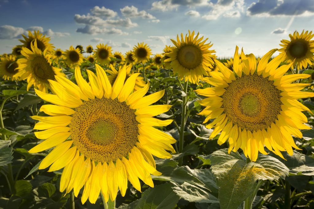 one of the sunflower fields in texas