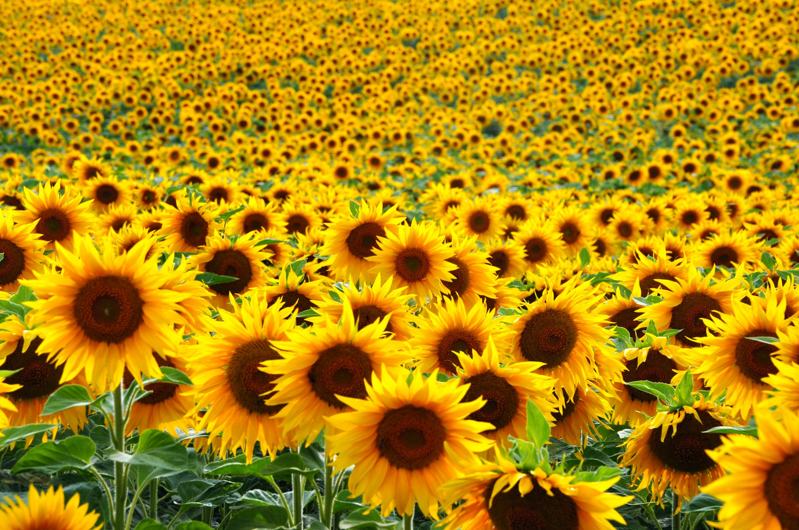 one of the texas sunflower fields during bloom