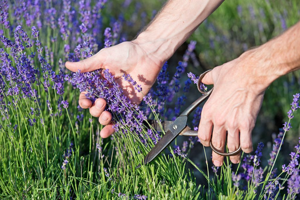 pair of hands cutting a handful of texas lavender with scissors