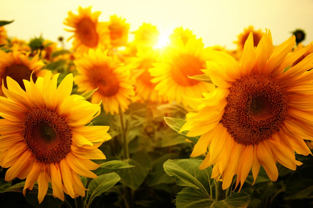 group of sunflowers near sunset
