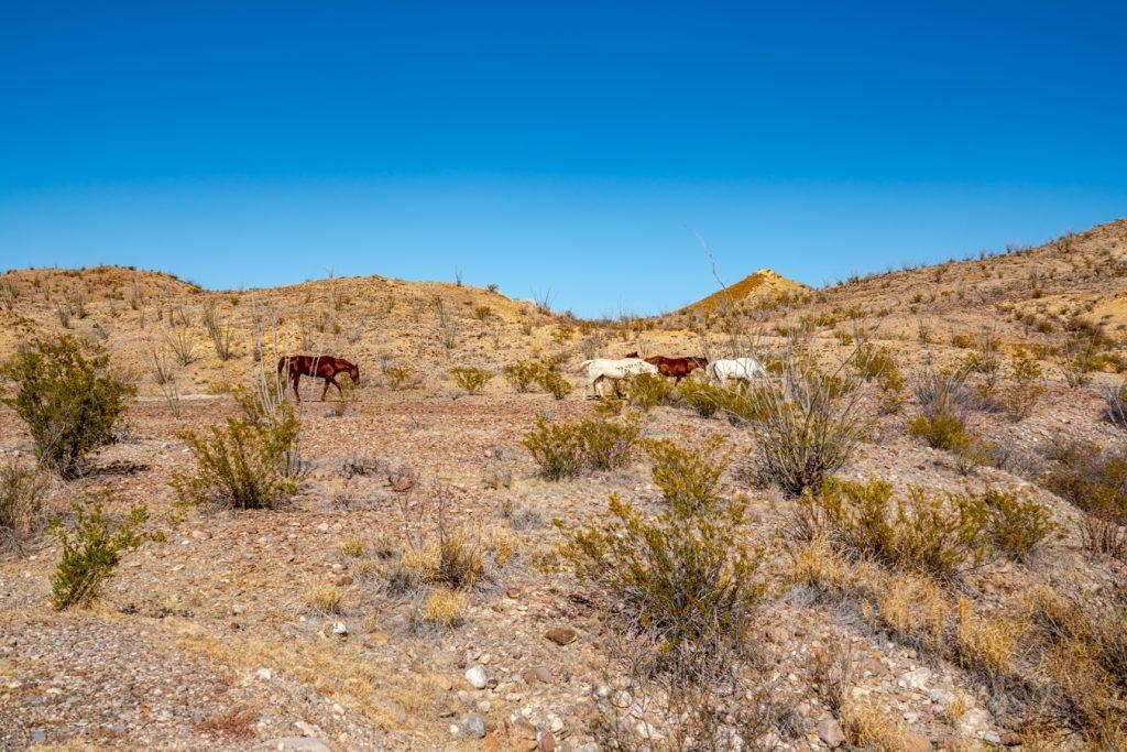 views of wild horses in the desert in big bend np