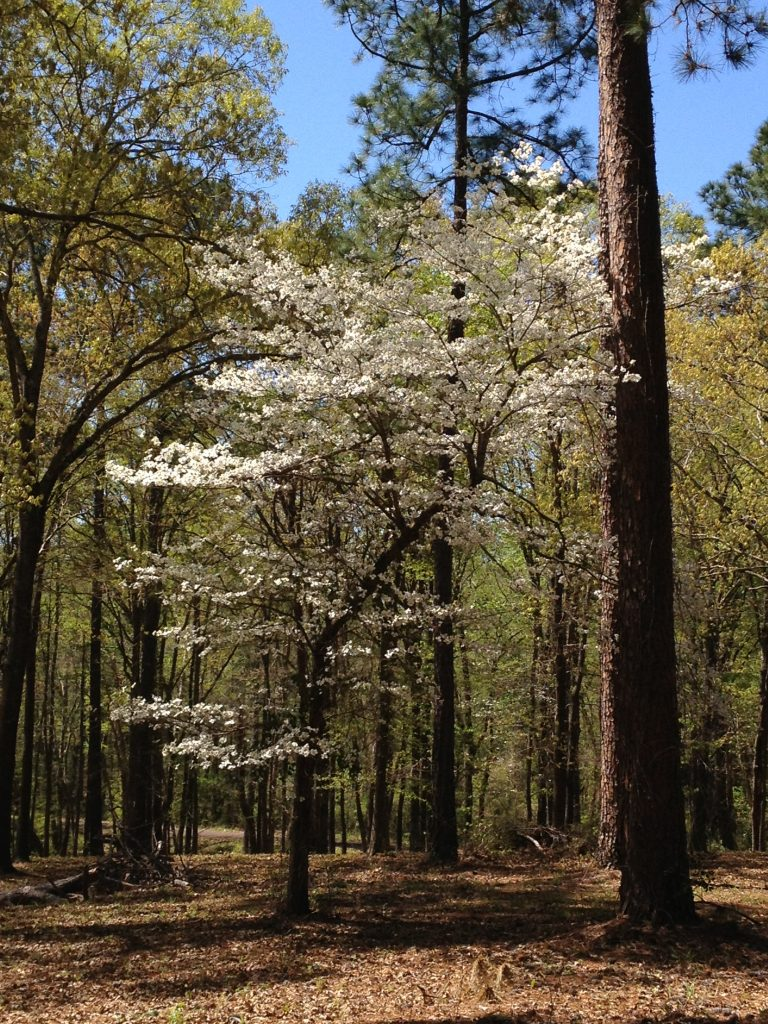 blooming dogwood tree in one of the state parks in east texas