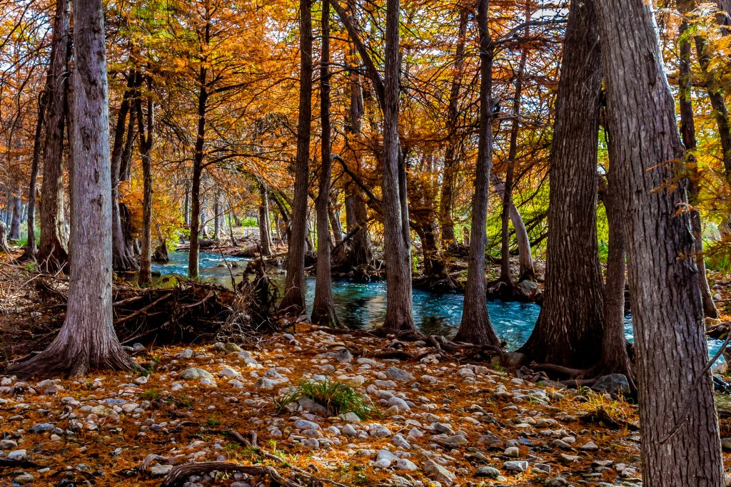 cypress trees during texas fall lining hill country river