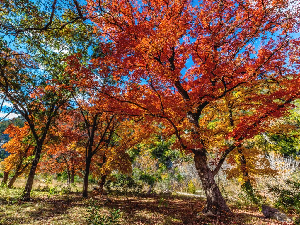 bright red foliage in lost maples, one of the fun things to do in vanderpool texas