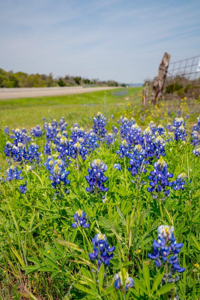patch of texas bluebonnets along highway 71 near llano