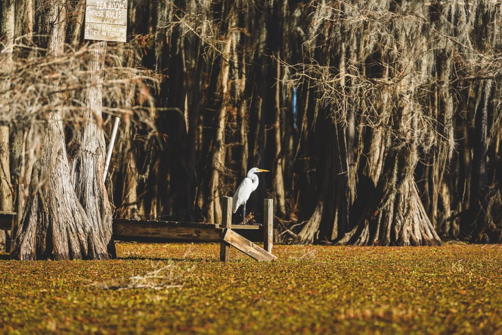white bird perched over the water at caddo lake