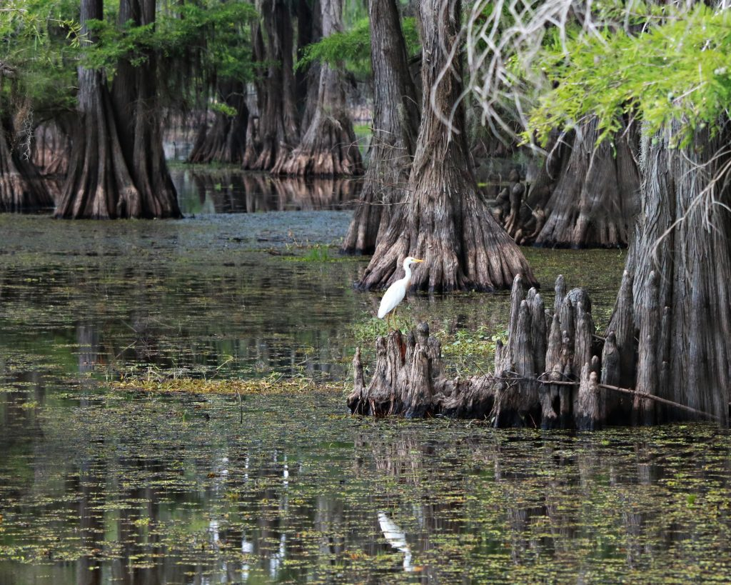 small egret perched on a branch over caddo lake