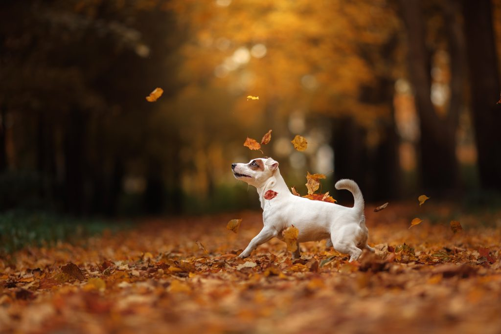 jack russell terrier playing in fall leaves