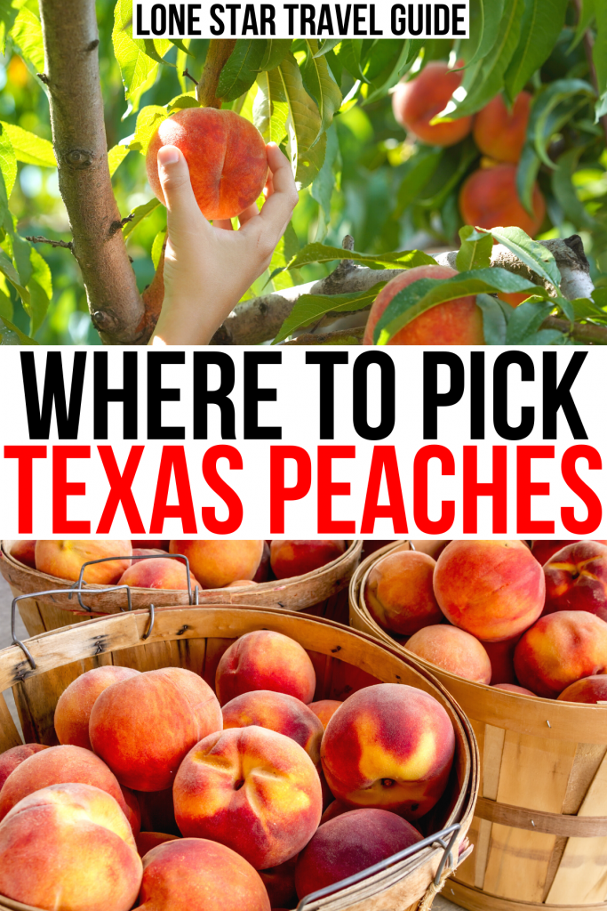 """two photos of texas peach farms: person picking peaches texas from tree and bushels for sale. black and red text on a white background reads """"where to pick texas peaches"""""""