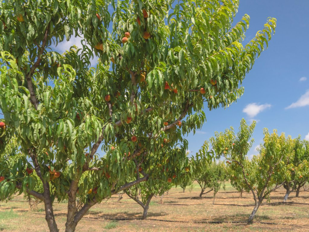 peach trees with ripe fruit at a pick your own peaches farm texas
