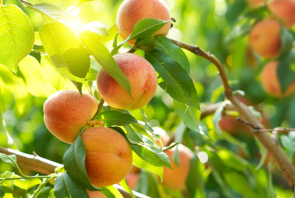close up of peaches on a tree growing
