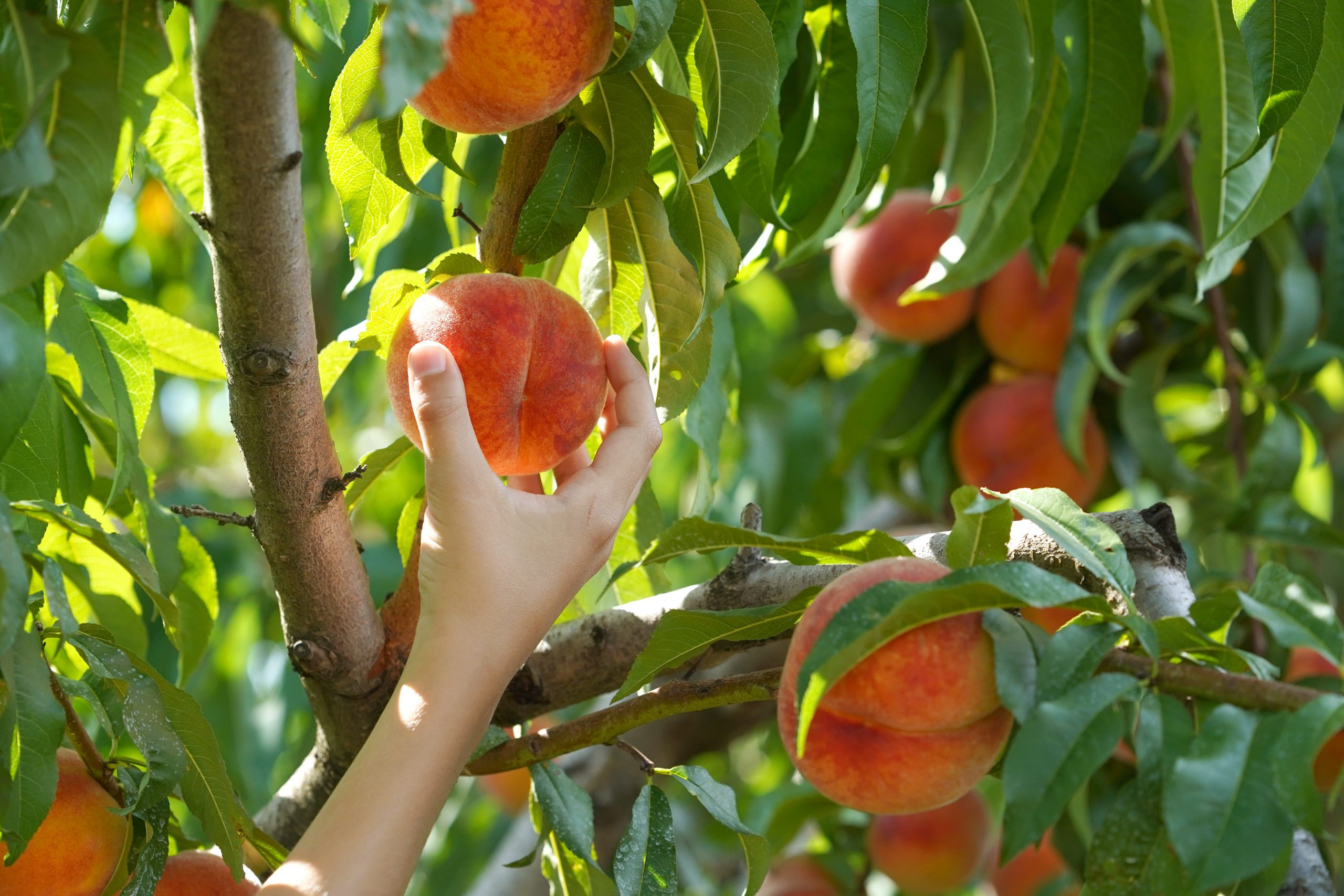 womans hand peach picking texas at one of the texas peach farms where you can pick your own peaches