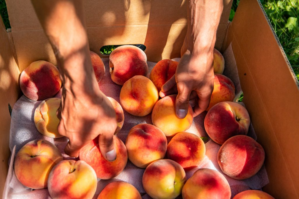 hands picking peaches out of a cardboard box in a peach orchard