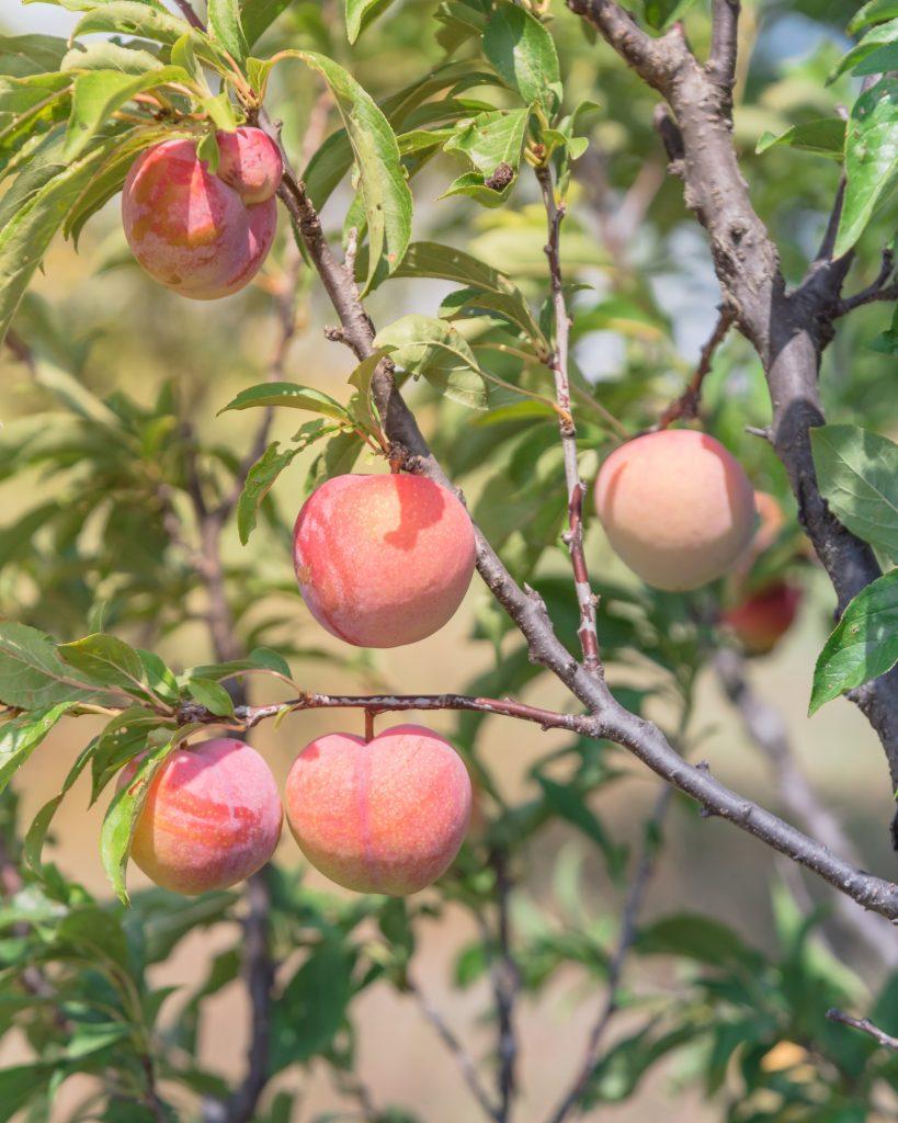 tx peaches on a tree in waxahachie texas
