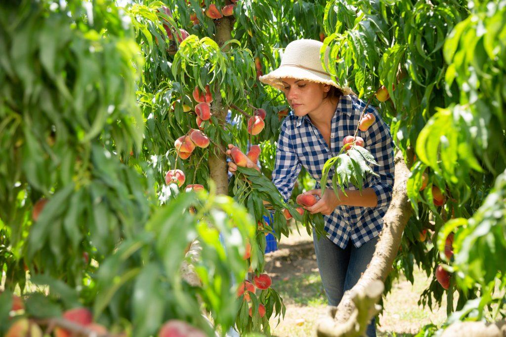 woman picking peaches texas orchard