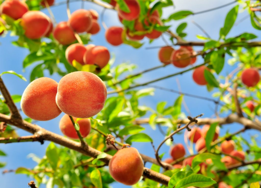 tx peaches growing on a tree with blue sky in the background