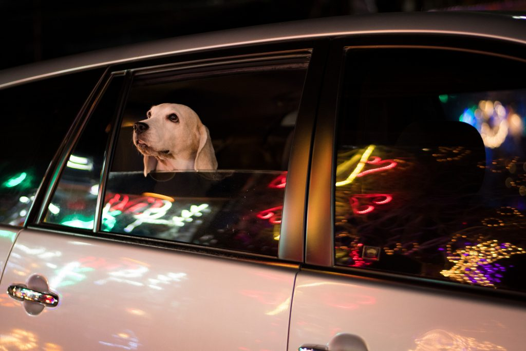 white dog looking at holiday lights from inside silver car