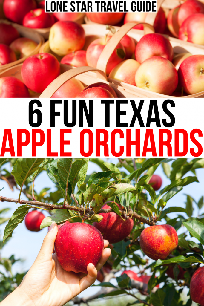 """2 photos of texas apples, one of of baskets and one of a woman picking apples texas. black and red text on a white backgrounds reads """"6 fun texas apple orchards"""""""