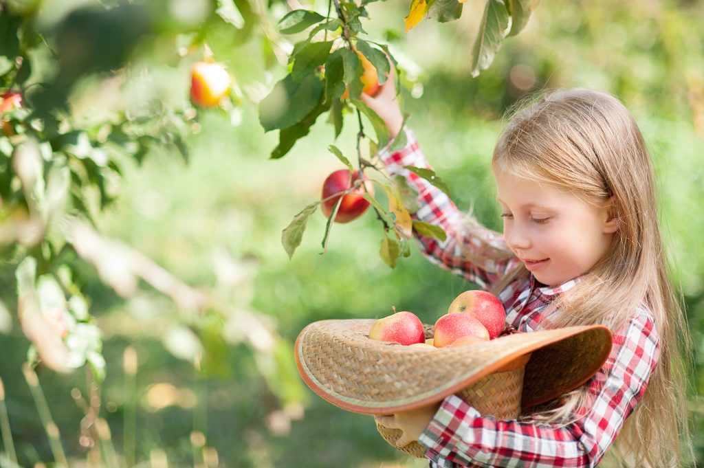 young blonde girl apple picking texas and putting the apples into a cowboy hat