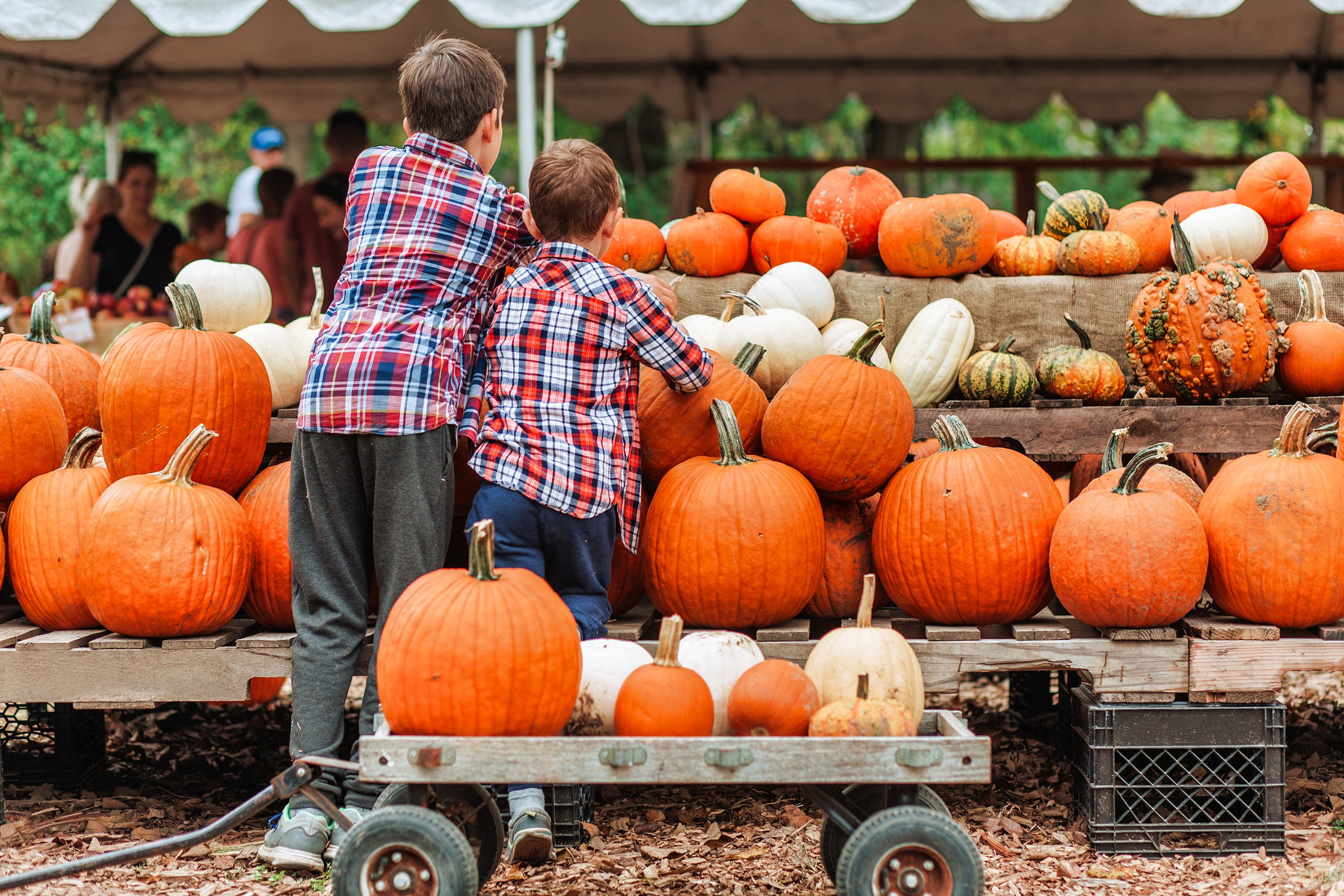 two young boys facing away from the camera picking out pumpkins at one of the best dallas pumpkin patches