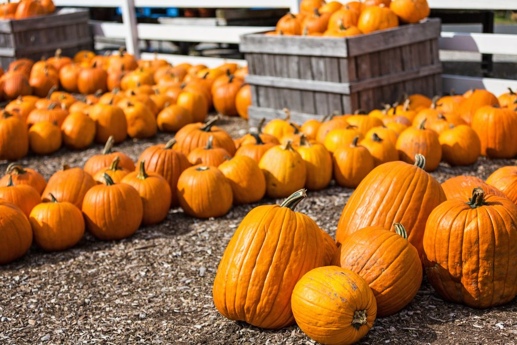 group of pumpkins lined for sale at one of the best dallas pumpkin patches