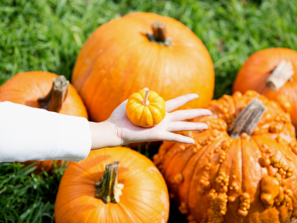 woman's hand holding out a baby pumpkin over a pile of pumpkins at one of the best pumpkin patches near austin