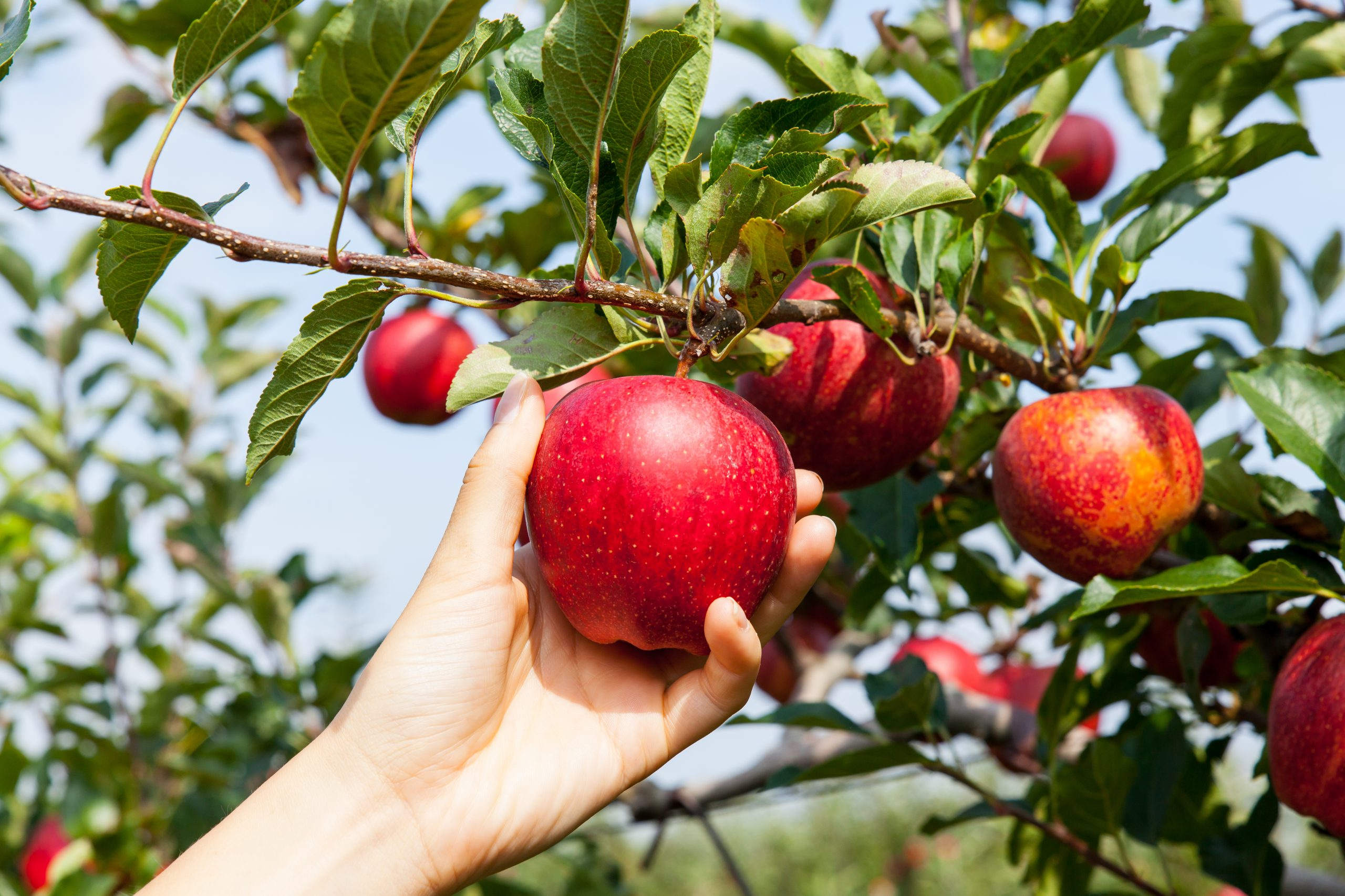 womans hand reaching out to pick apple texas apple orchards