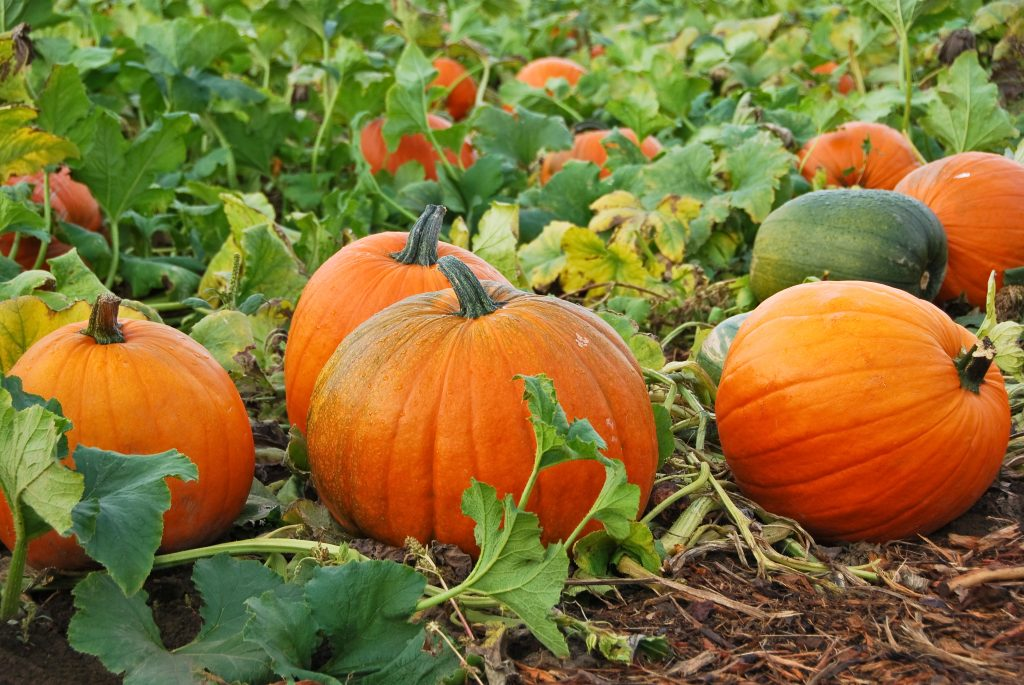 collection of ripe pumpkins growing on the vine