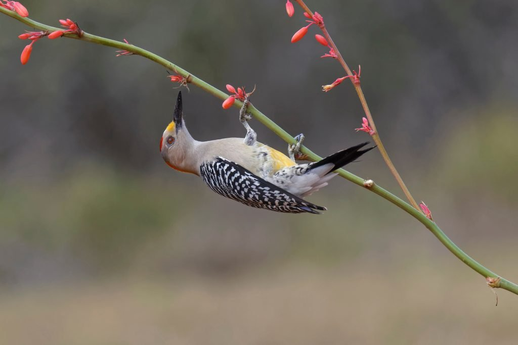 golden fronted woodpecker with a pink flower in south texas, one of the seven regions in texas