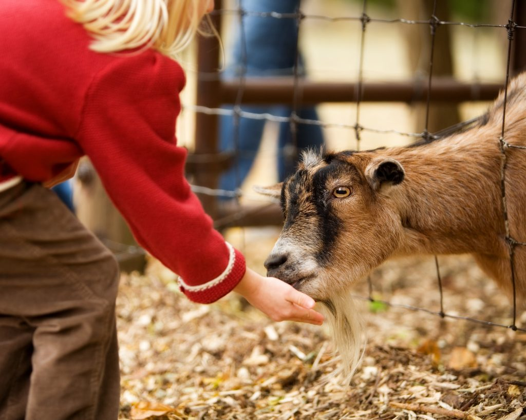 small child feeding a goat at a petting zoo