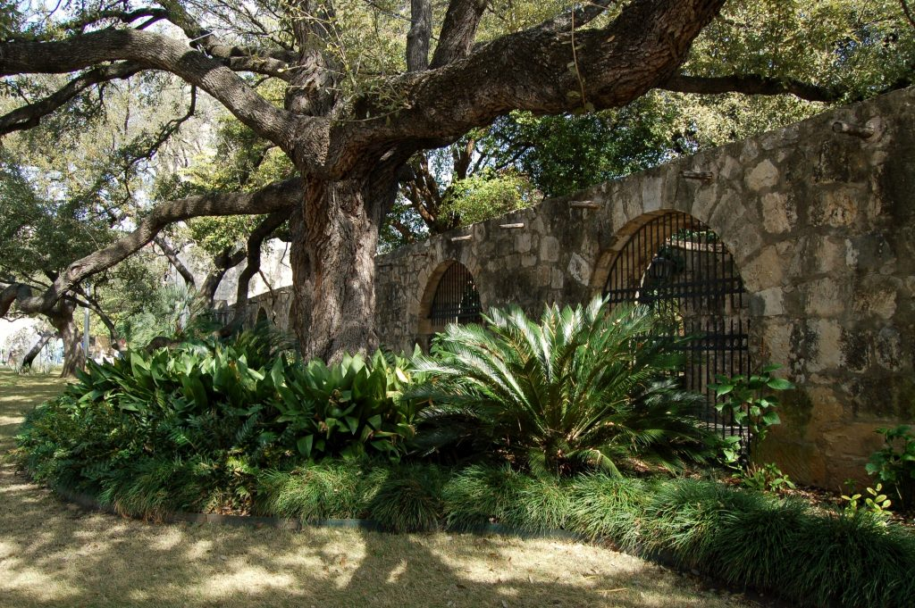 walled gardens alamo with large live oak tree shading the area