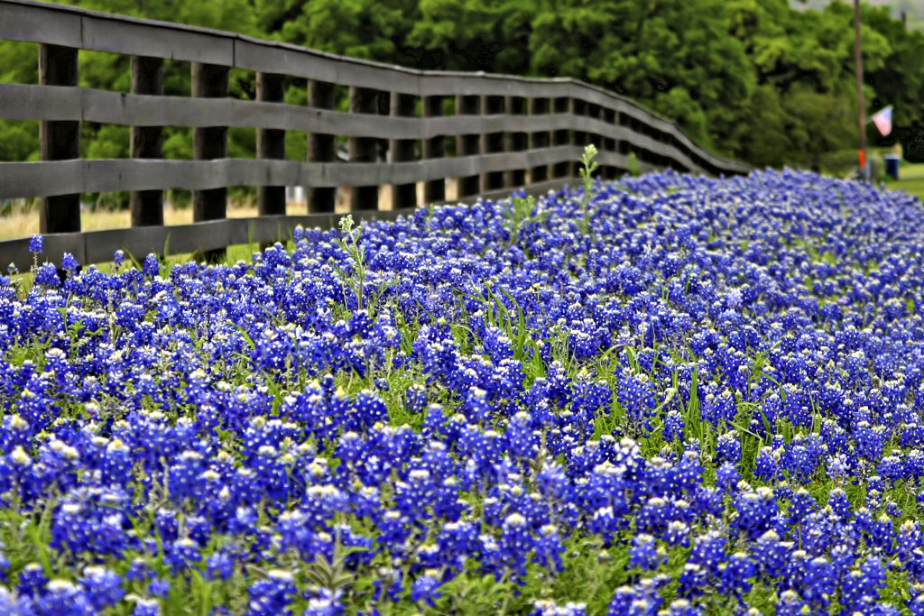 field of texas bluebonnets in front of a fence, mentioned in many best texas songs